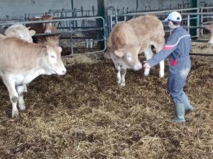 un élève mène 2 vaches dans une stabulation